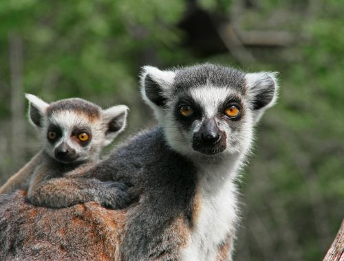 lemuri Africa crimini ambientali