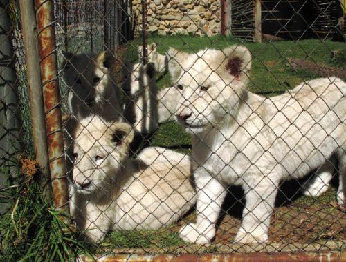 leoni leonicini bianchi sudafrica